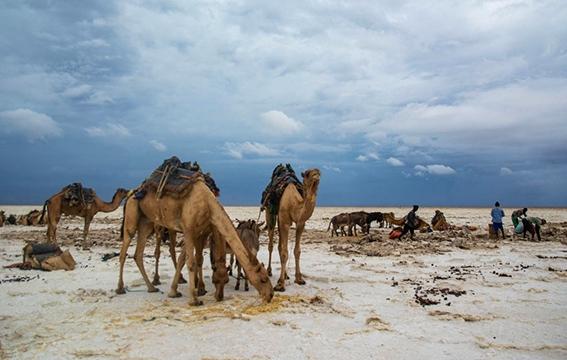 Caravane de dromadaires dans la région du Danakil